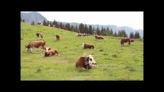 10-Concert de cloches des vache à la montagne.