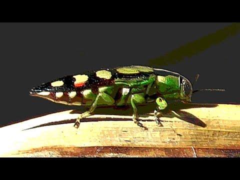 Jewel Beetle or Metallic Borer Beetle
