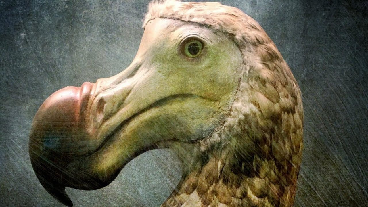 Scientists Finally Know The Real Reason Dodo Birds Went Extinct Youtube