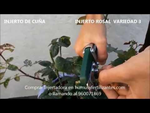 Rosas exoticas doovi - Como injertar rosales ...