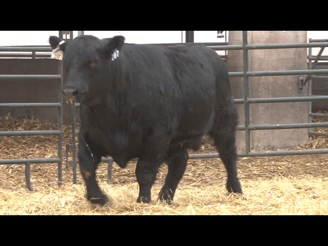 Schiefelbein Angus Farms Lot 287