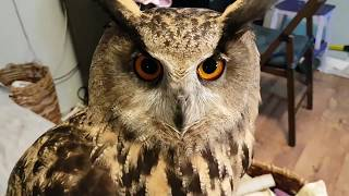 The spider has dinner, the little owls buzz at the cat, the eagle owl tidies up the room.