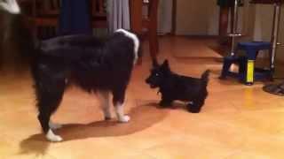 Border Collie And Scottish Terrier Puppy