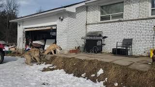 Irish Wolfhound puppies running to the house