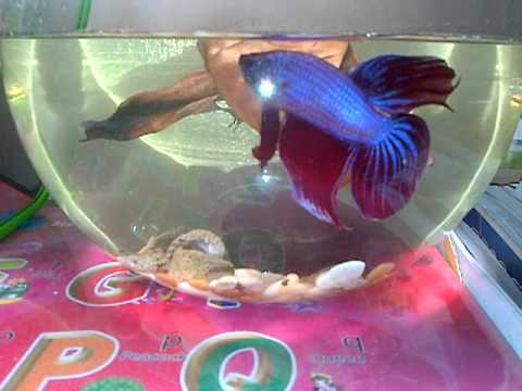 Giant betta fish youtube for Biggest betta fish