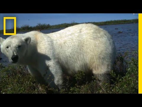 Polar Bear Predation