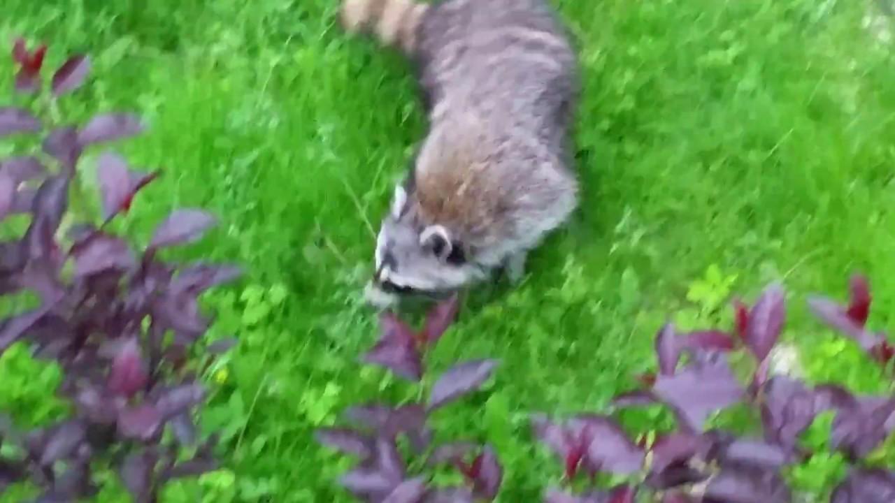 caught raccoon on my backyard youtube
