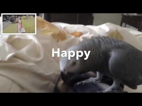 Grey Parrot dancing on the music Pharrel Williams