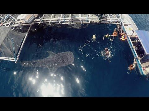 Whale shark - Kwatisore - Nabire - Papua - Indonesia