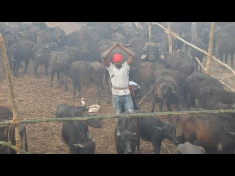 Nepal's Mass Animal Slaughter Begins Despite Outcry   AFP