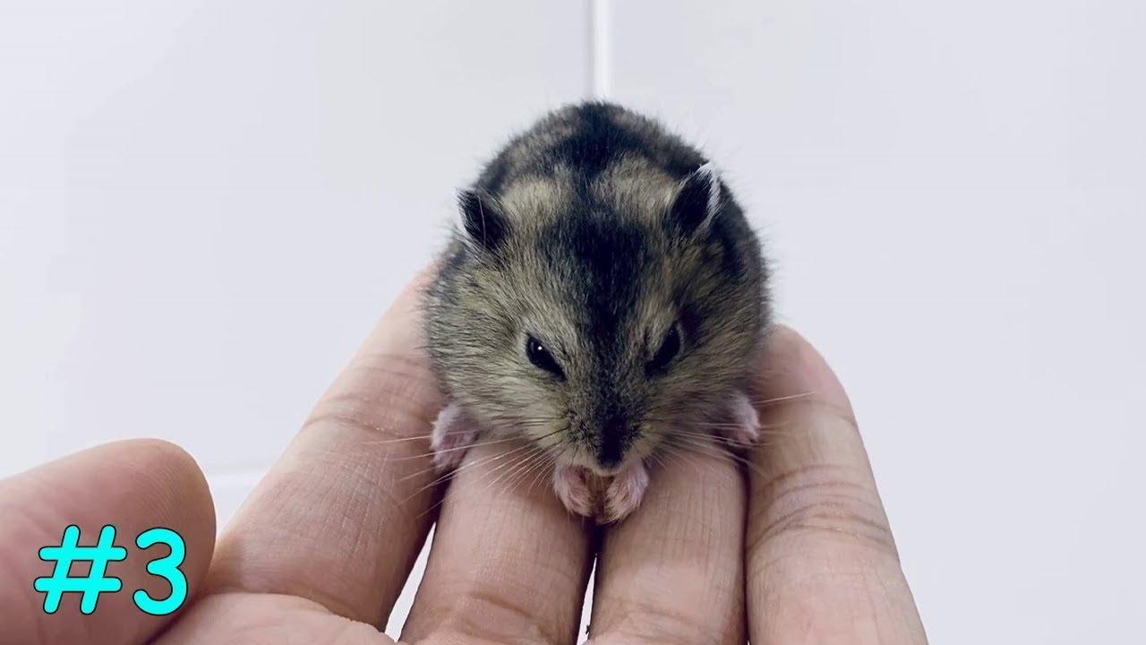 Cute Hamster ASMR Eating Worm | My Cute Hamsters #3