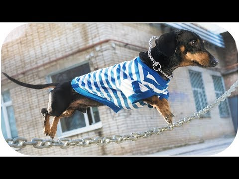 Air Dachshund - The Parkour Dog! Funny animal video!