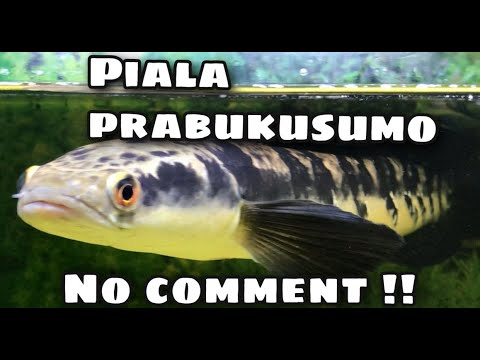 Download Kontes channa piala prabukusumo jcm !!!