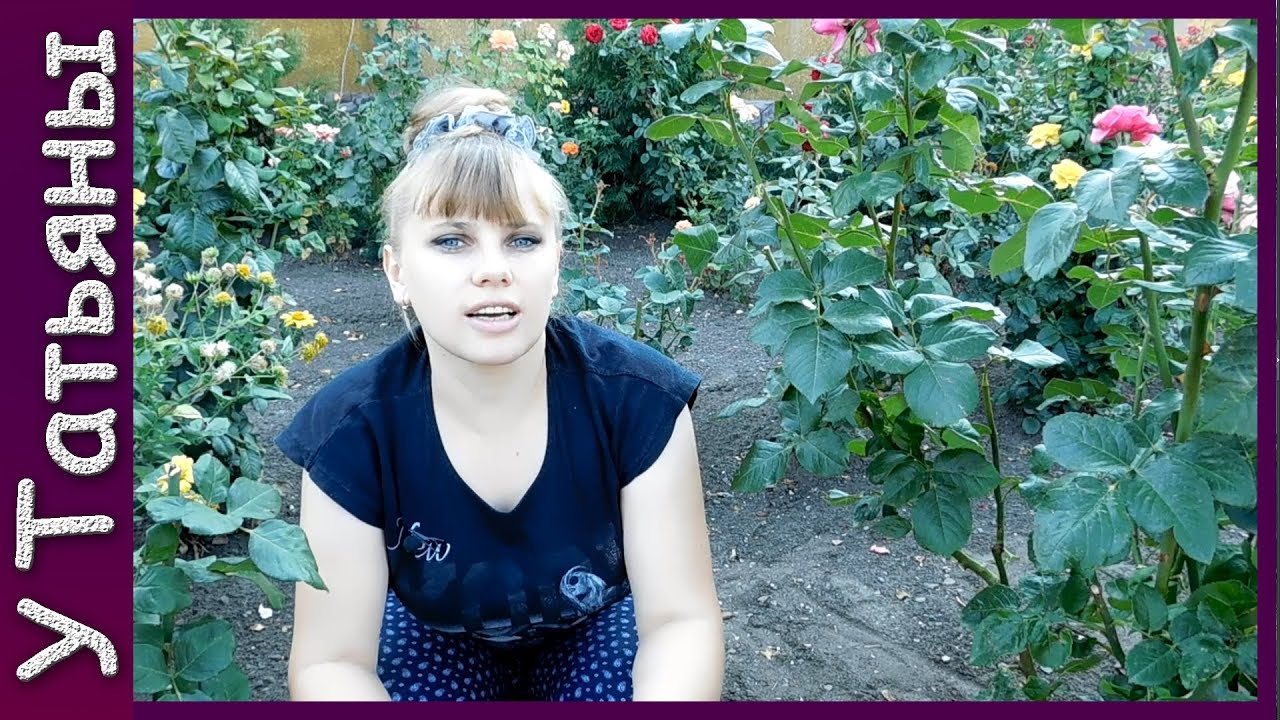 Розы в августе уход видео