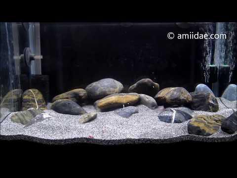 Congo Blind Spiny eel feeding clip 2016
