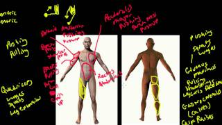 Major Muscle Groups and Associated Exercises