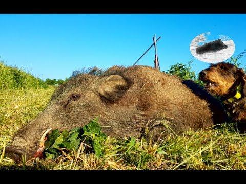 Amazing hunting and shot in 6m on wild boar with great tusks!