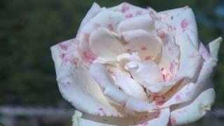 mon amie la rose Françoise Hardy (cover bernadette oceaneblue)