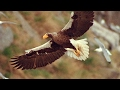 World's Largest Eagle Attacks Kittiwake Birds | Blue Planet | BBC Earth