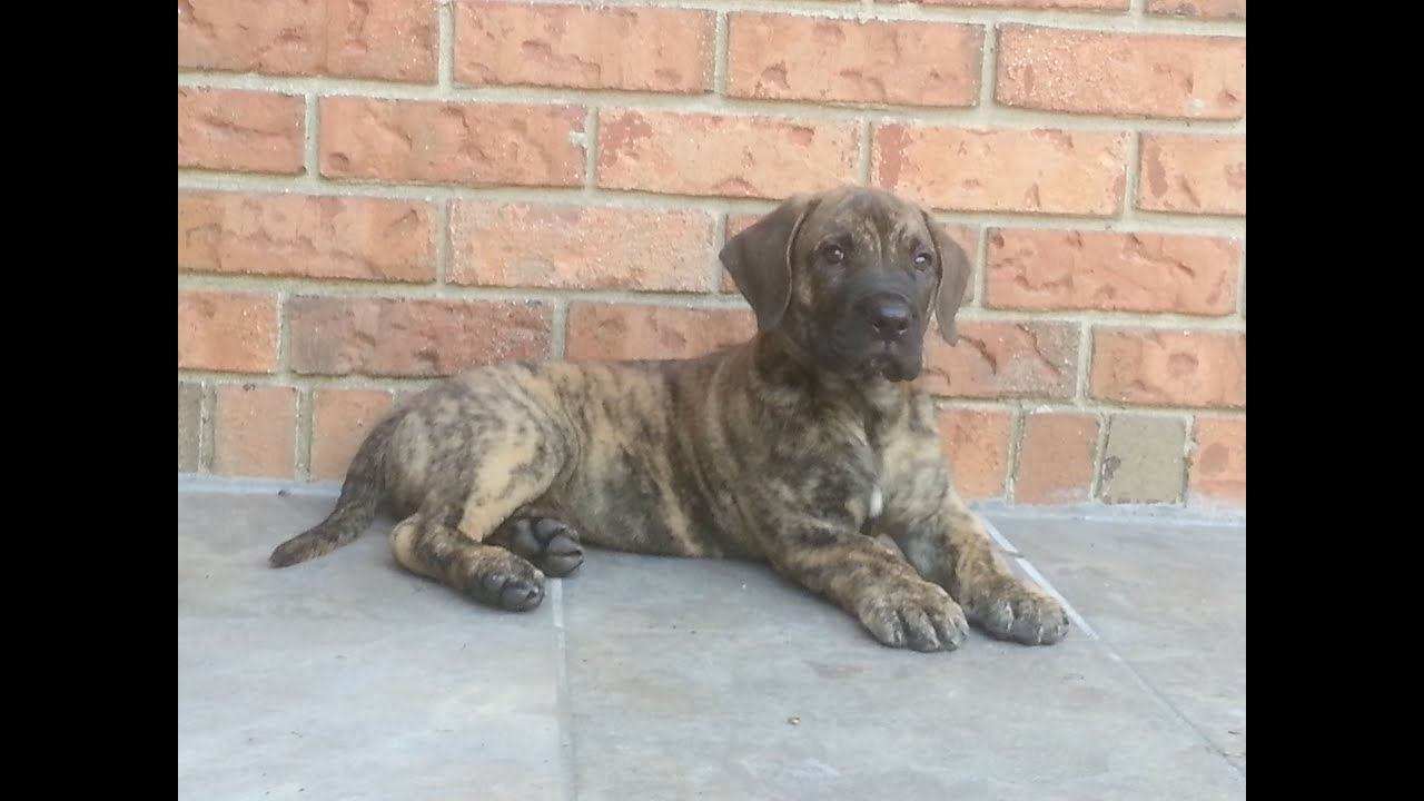 Presa Canario Puppies For Sale by Reputable Breeders