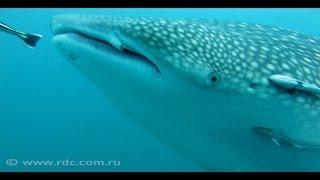 Дайвинг на Самуи. Китовая акула. Shark Island. 10/2013.(Если вы делаете дайвинг на Самуи, то порой можно встретить китовых акул и поплавать рядом с ними., 2013-10-30T07:18:38.000Z)