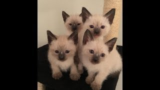 adorable Siamese Kittens, 6 Weeks Old Family fun