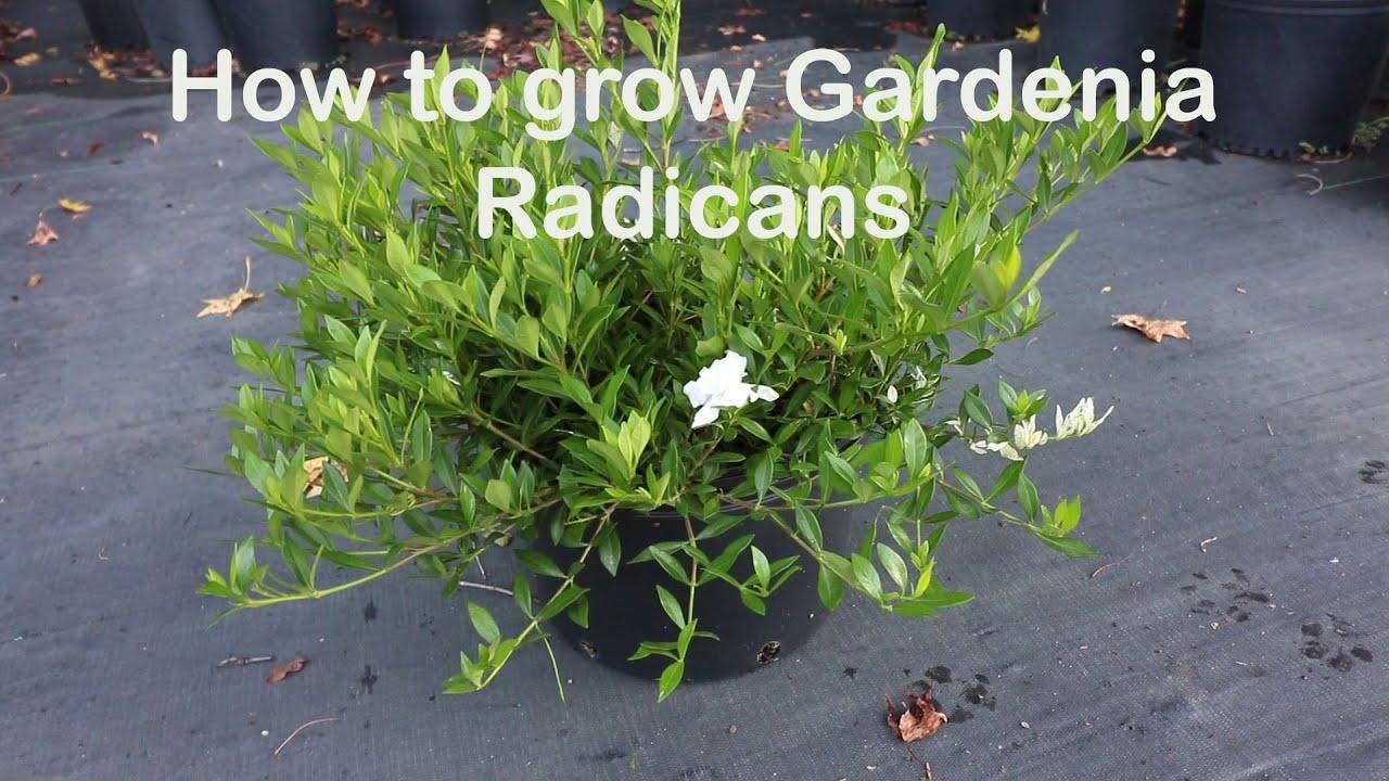 How To Grow Gardenia Radicans The Dwarf Fragrant Evergreen Shrub