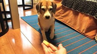 I like apple #dog #beagle #犬 #ビーグル #ビーグル犬 #一只狗 #개 #か...