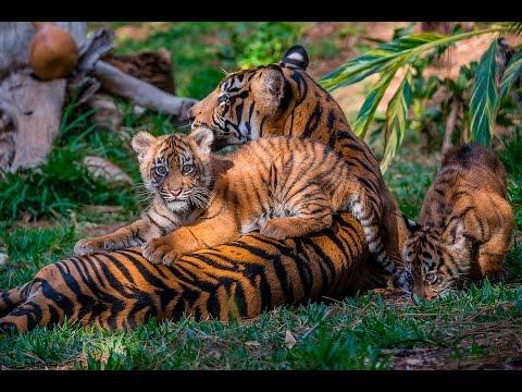Endangered Sumatran Tiger Cubs Debut