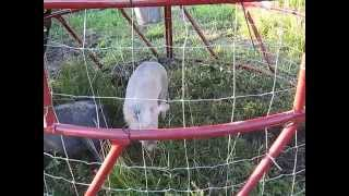 Pig Tractor from a Round Bale Feeder, Could be used as a chicken tractor