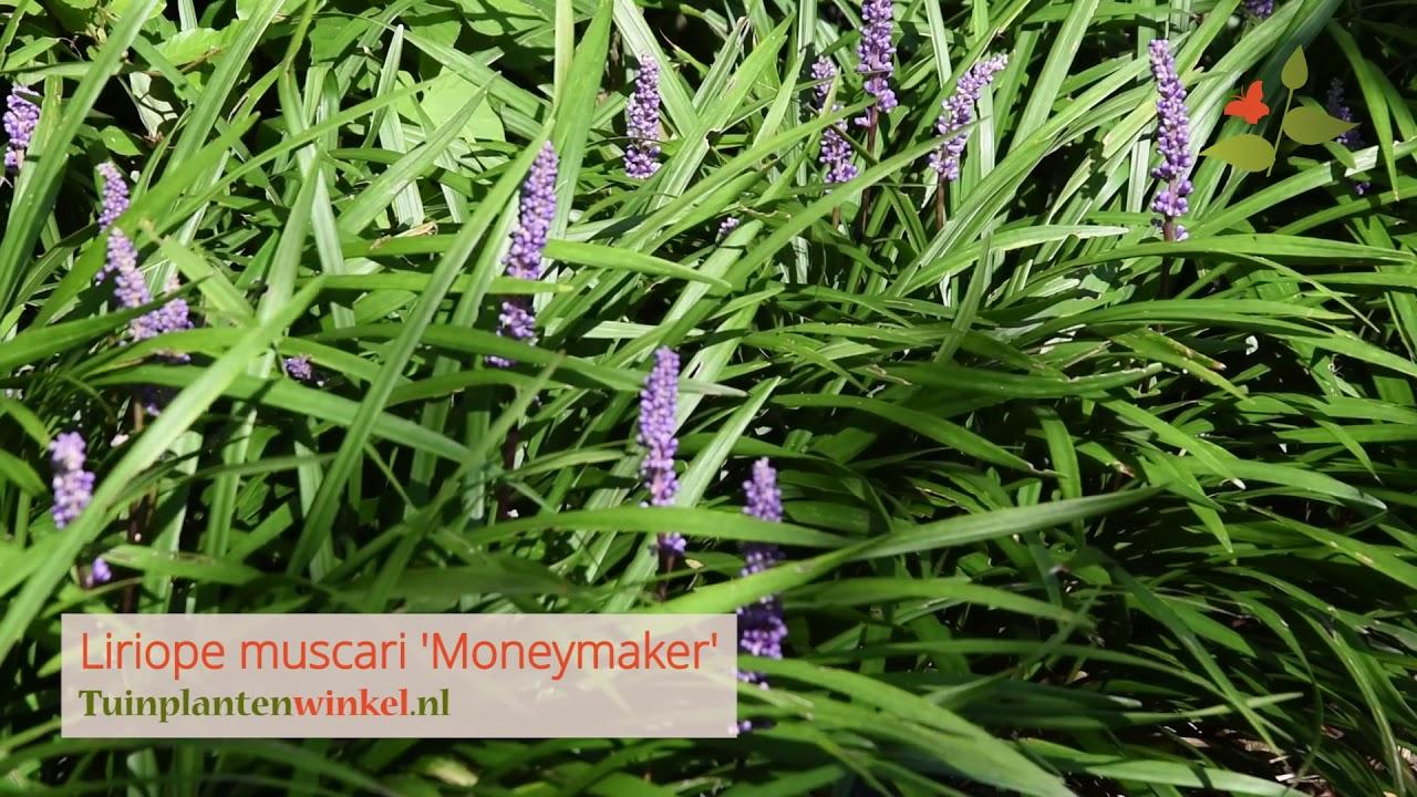 Liriope Muscari Moneymaker Of Leliegras Informatie Youtube