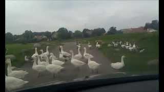 Domestic ducks crossing the road