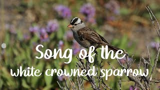 Song of the White Crowned Sparrow