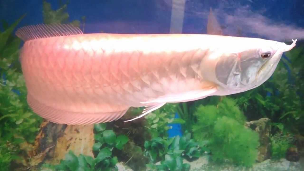 Precious silver arowana osteoglossum bicirrhosum amazon for Amazon aquarium fish