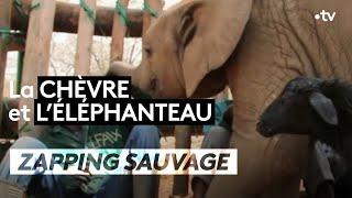 La chèvre et l'éléphanteau - ZAPPING SAUVAGE