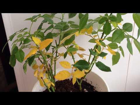 Почему желтеют листья комнатных растений?
