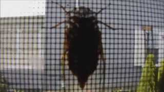 Cicada in our window! (Day 14 - 07/26/2014)