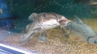 Feeding my Arapaima, Giraffe & Ripsaw catfish, Indian Snakehead