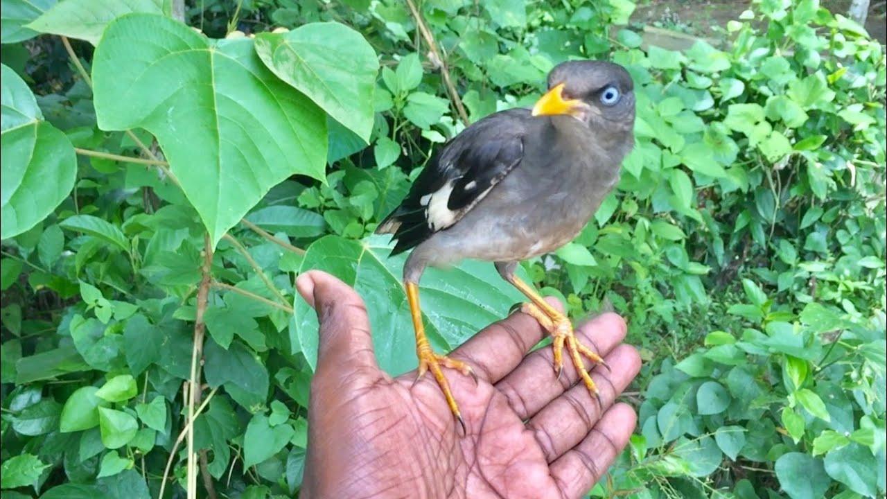 পোষ মানা শালিক পাখি ।shalik pakhi ।mynah bird ।Kota bola shalik pakhi ।salik pakhi ।pus mana shalik
