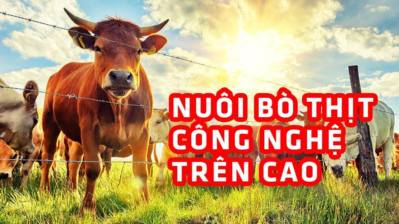 Nuôi bò thịt công nghệ cao ứng dụng khoa học kỹ thuật vào chăn nuôi bò thịt nhốt chuồng   lai be ri