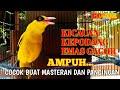 Burung Kepodang Emas Gacor Ampuh Buat Pancingan Kepodang Lain Agar Bunyi  Gogor  Mp3 - Mp4 Download