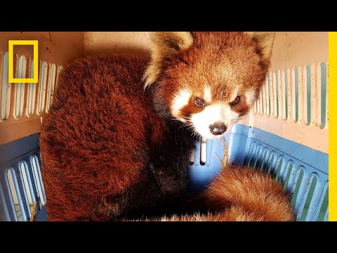 Watch the Bittersweet Rescue of Red Pandas from Wildlife Smugglers | National Geographic