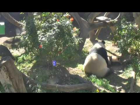 San Diego Zoo Panda Cam 01/18/13 14:05 one hour
