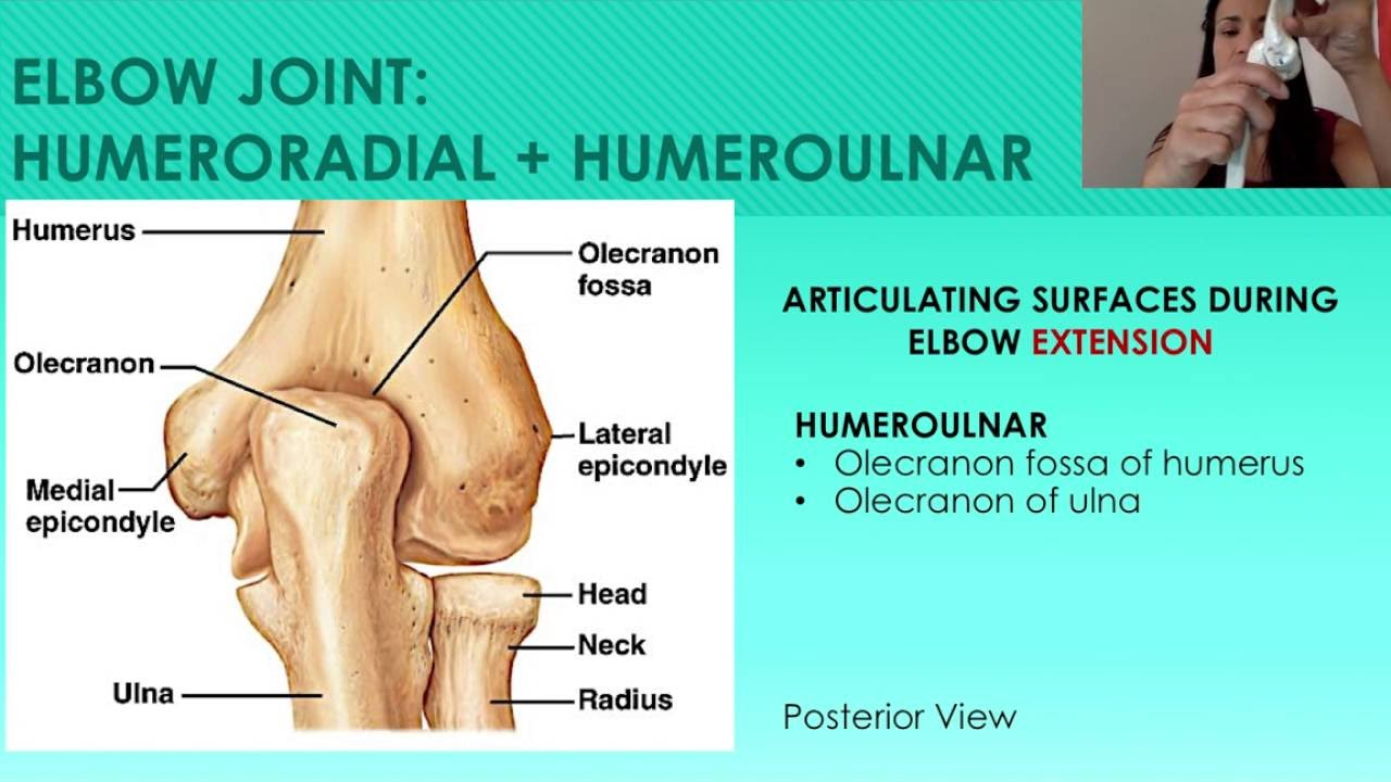 7 The Elbow Humeroradial And Humeroulnar Joints Youtube