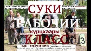 Выставка собак,  СУКИ класс РАБОЧИЙ,  НКП курцхаар, описание, собака породы курцхаар