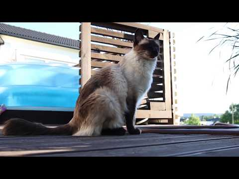 10 minutes in the life of my Balinese cat