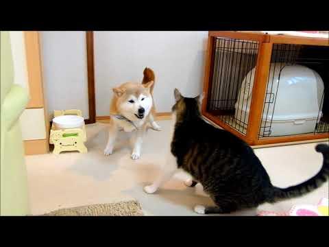 柴犬と猫のガウガウパンチごっこ Shiba Inu and cat play fighting