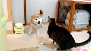 柴犬ひかり(15才女子)猫ミルキー(4才男子)の激しいじゃれっこ。遊ん...