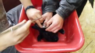 Ушной клещ у кроликов и его лечение(, 2016-11-09T08:56:12.000Z)