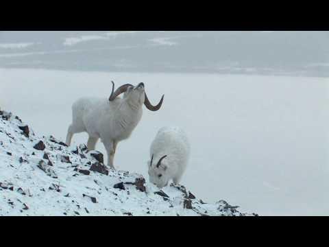 DALL SHEEP IN WINTER